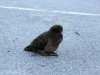 Kea waiting for Tourists