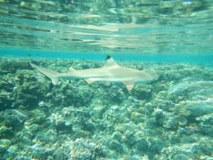 Shark in Fakarawa South Pass